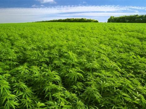 marihuana-matas