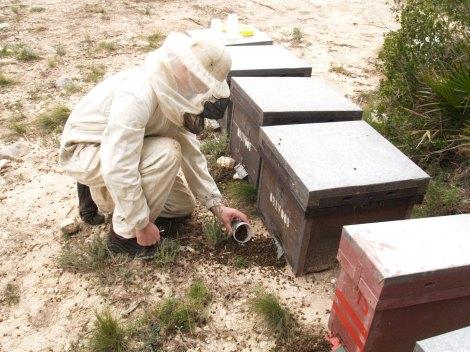 Abejas muertas en un colmenar cerca de Xátiva (Valencia).
