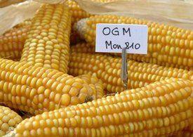 FRANCE : La France interdit le maïs OGM de Monsanto.