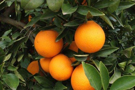 El-amargo-negocio-de-las-naranjas