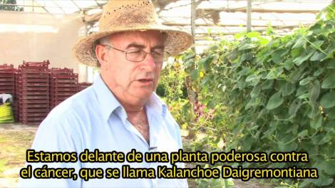 Kalanchoe, un remedio natural contra el cáncer