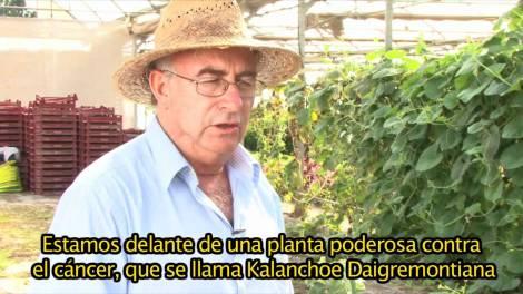 Kalanchoe, un remedio natural contra el cáncer